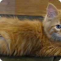 Adopt A Pet :: The Oranges---Tangelo - Florence, KY