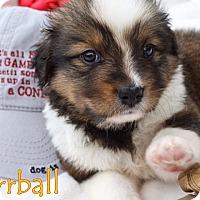 Adopt A Pet :: Furball - Austin, TX