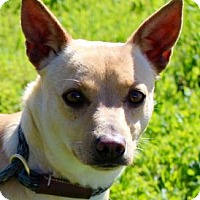 Adopt A Pet :: OLIVIA:Low Fees -Spayed - Red Bluff, CA