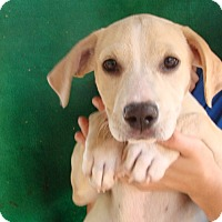 Adopt A Pet :: Reeses - Oviedo, FL