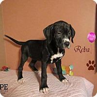 Adopt A Pet :: Reba - Godfrey, IL