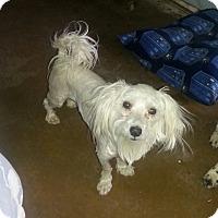 Adopt A Pet :: PUFFS - Phoenix, AZ