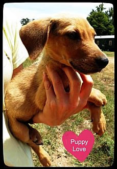 Beagle/Redbone Coonhound Mix Dog for adoption in Pipe Creek, Texas - Drew