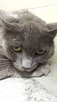 Domestic Mediumhair Cat for adoption in Roseville, California - Cha Cha
