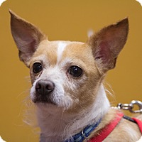 Adopt A Pet :: Chico - Coppell, TX