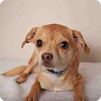 Adopt A Pet :: CHICA - Martinez, CA