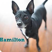 Adopt A Pet :: Hamilton 'Hammie' - Los Angeles, CA