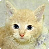 Domestic Shorthair Kitten for adoption in Madison, Indiana - We Still Have KITTENS