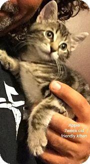 Domestic Shorthair Kitten for adoption in Marlboro, New Jersey - Apple