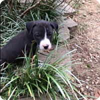 Pit Bull Terrier/Boxer Mix Puppy for adoption in Spring Valley, New York - Olive (ETAA)