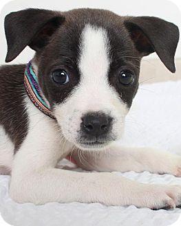 Terrier (Unknown Type, Medium) Mix Puppy for adoption in Edina, Minnesota - Fireburst D161567: PENDING ADOPTION