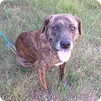 Catahoula Leopard Dog/Labrador Retriever Mix Dog for adoption in Westport, Connecticut - Sophie