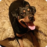 Rottweiler Mix Dog for adoption in Spartanburg, South Carolina - Roxanne (Roxie)
