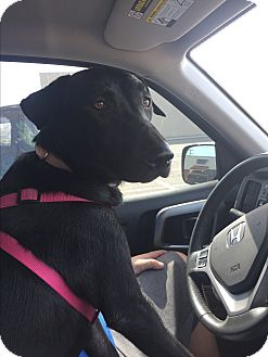 Labrador Retriever/Pointer Mix Dog for adoption in Hayes, Virginia - Roxy