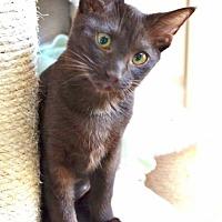 Adopt A Pet :: Klocka - Davis, CA