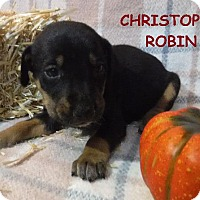 Terrier (Unknown Type, Small)/Miniature Pinscher Mix Puppy for adoption in Batesville, Arkansas - Christopher Robin