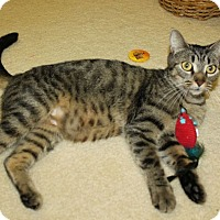 Domestic Shorthair Cat for adoption in Youngsville, North Carolina - Tammy