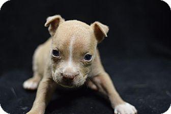 English Bulldog Mix Puppy for adoption in Manhattan, New York - Elliott