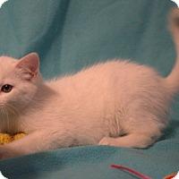 American Shorthair Kitten for adoption in Allentown, Pennsylvania - Chrystal