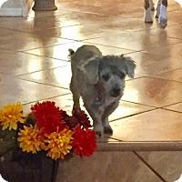 Adopt A Pet :: Chance - Chandler, AZ