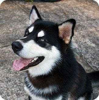 Alaskan Malamute/Husky Mix Dog for adoption in Augusta County, Virginia - Sunka