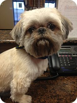 Shih Tzu Dog for adoption in Rockwall, Texas - Winston