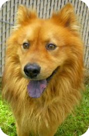 pomeranian chow chow mix smokey adopted dog 19552297 lincolnton nc 2539