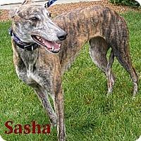 Adopt A Pet :: Sasha - Fremont, OH