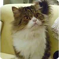 Adopt A Pet :: Little Prince - Beverly Hills, CA