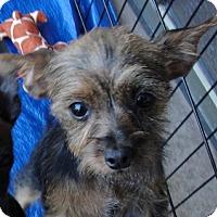 Adopt A Pet :: Juliette - Tumwater, WA