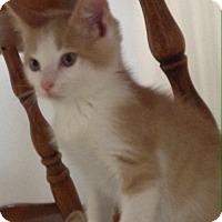 Adopt A Pet :: Snickerdoodle - Bensalem, PA
