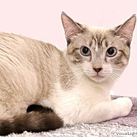 Snowshoe Kitten for adoption in Westchester, California - Morgan