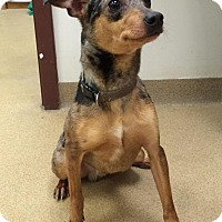 Adopt A Pet :: Chevy - Muscatine, IA