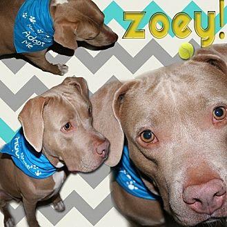Bulldog/Labrador Retriever Mix Dog for adoption in Brooksville, Florida - 'ZOEY'