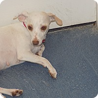 Adopt A Pet :: sandy - Jupiter, FL