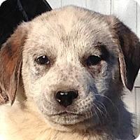 Adopt A Pet :: Kona - Allentown, PA