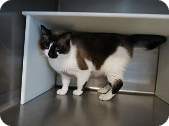 Snowshoe Cat for adoption in Geneseo, Illinois - Cisco
