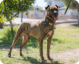 American Staffordshire Terrier Mix Dog for adoption in BELL GARDENS, California - BENSON
