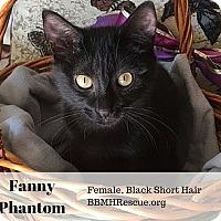 Domestic Shorthair Kitten for adoption in Temecula, California - Fanny Phantom