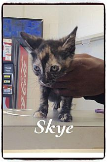 Domestic Shorthair Kitten for adoption in Dillon, South Carolina - Skye