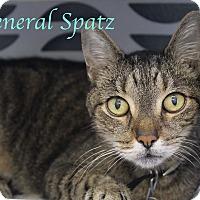 Domestic Shorthair Cat for adoption in Bradenton, Florida - General Spatz