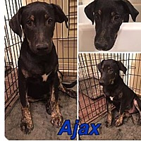 Shepherd (Unknown Type)/Catahoula Leopard Dog Mix Puppy for adoption in PARSIPPANY, New Jersey - AJAX