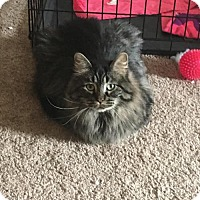 Maine Coon Cat for adoption in Princeton, Minnesota - Sophie