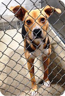 Beagle Mix Dog for adoption in Vancouver, Washington - Luke