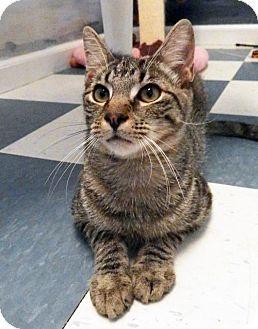 Domestic Shorthair Cat for adoption in Toledo, Ohio - GEORGE