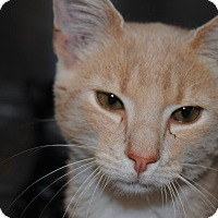 Domestic Shorthair Cat for adoption in Windsor, Virginia - Cream Puff
