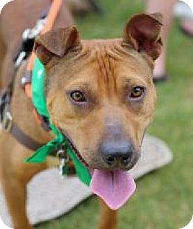 Pit Bull Terrier Mix Dog for adoption in Suwanee, Georgia - Caleb