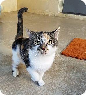 Domestic Shorthair Cat for adoption in Umatilla, Florida - Chleo