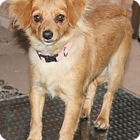 Chihuahua Mix Dog for adoption in Philadelphia, Pennsylvania - Fancy