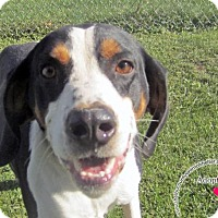 Coonhound/Hound (Unknown Type) Mix Dog for adoption in Sidney, Ohio - Moe